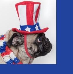 american pug