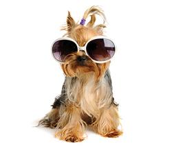 sunglasses pup